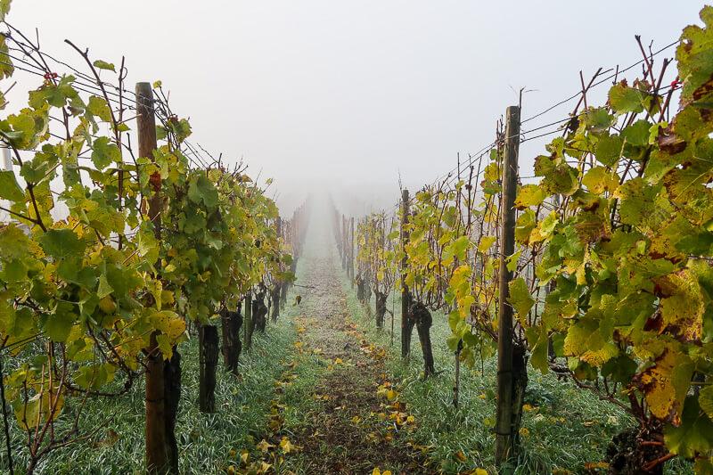 Novembermorgen in den Weinbergen am Kaiserstuhl