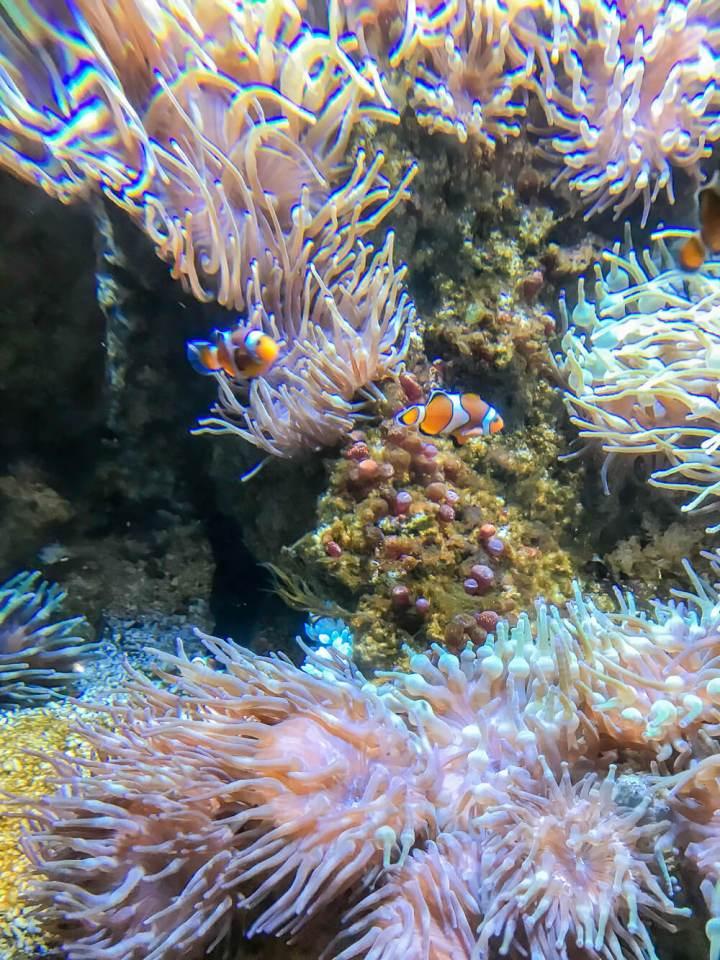 Nemo wohnt im Aquarium von Biarritz
