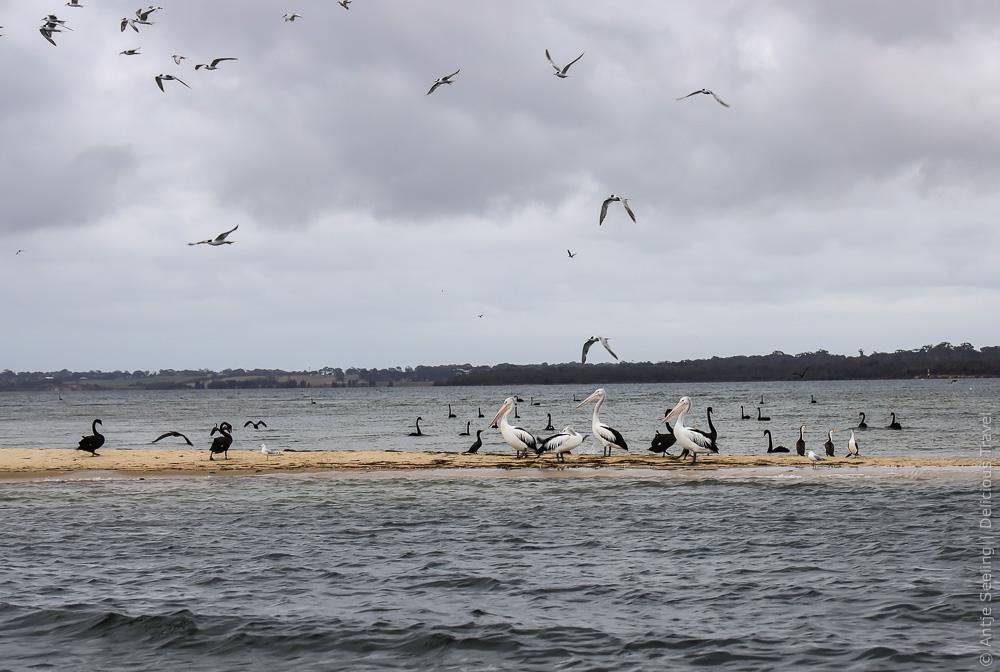 Pelikan-Kolonie in den Gippsland Lakes, Victoria