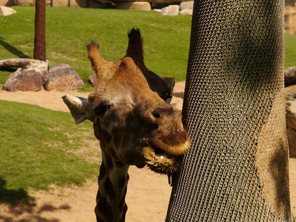 Giraffe im Bioparc Valencia