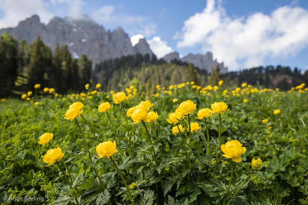Trollblumen in den Dolomiten