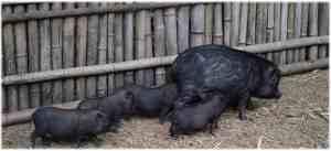 cochons-noirs