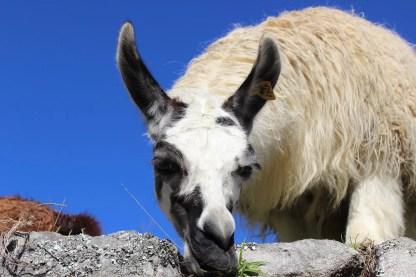 Lama Machu Picchu