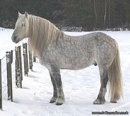 btHighland Pony Stallion