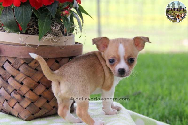 Allevamento Chihuahua  Vendita cuccioli Chihuahua