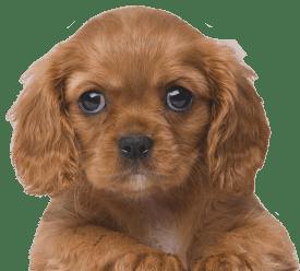 Allevamento Cani  Vendita Cuccioli delle migliori razze