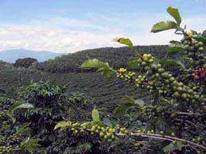 Rostlina kávovníku odrůdy ARABICA
