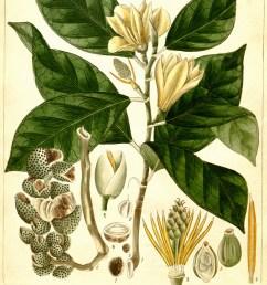 magnolia cathcarti as michelia hooker s illustrations of himalayan plants 1855 magnolia nilagirica as michelia pulneyensis r wight 1840  [ 900 x 1255 Pixel ]
