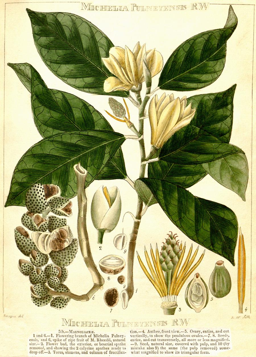 medium resolution of magnolia cathcarti as michelia hooker s illustrations of himalayan plants 1855 magnolia nilagirica as michelia pulneyensis r wight 1840