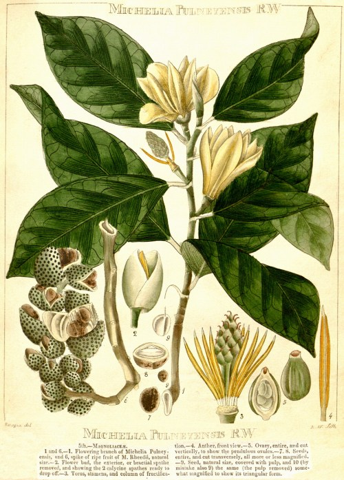 small resolution of magnolia cathcarti as michelia hooker s illustrations of himalayan plants 1855 magnolia nilagirica as michelia pulneyensis r wight 1840