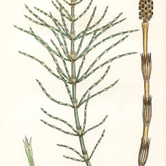 Horsetail Plant Diagram 3 5 Mm Audio Jack Wiring Horsetails Of Britain And Ireland Equisetum Arvense L Sowerby Johnson 1859