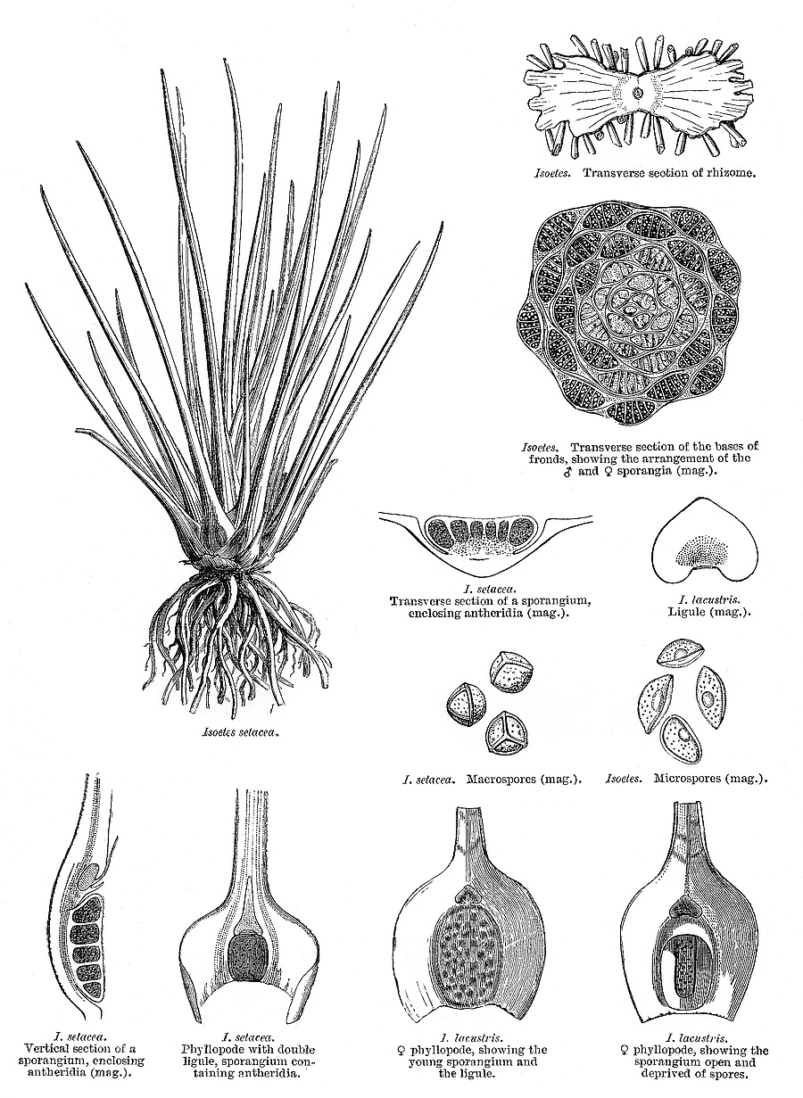 hight resolution of isoetes setacea lam is a mainland european species from le maout and decaisne 1873