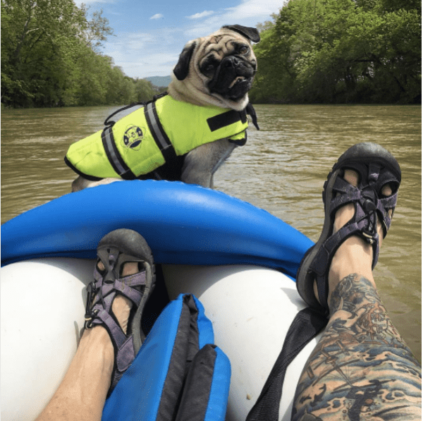 Pug smiling on river