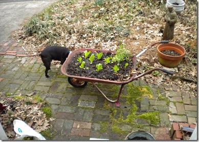 salad in a wheelbarrow 001