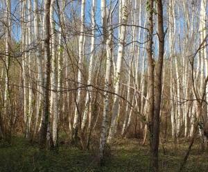 Troncs de bouleaux, forêts gérées raisonnablement Deluxe Créations