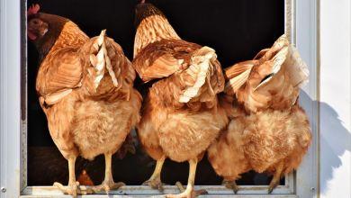 Photo of Ophokplicht voor kippen