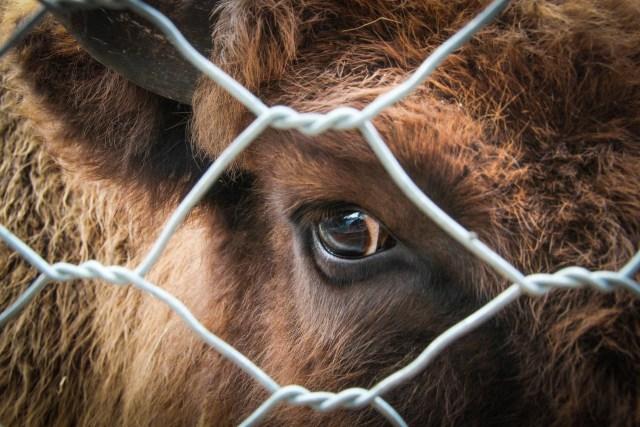 vaca en el matadero mirando a través de la reja