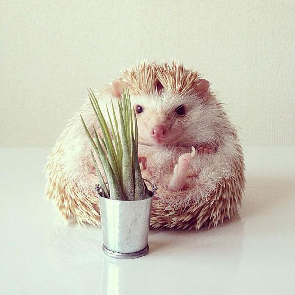 Pug Wallpaper Cute Meet Darcy The Adorable Internet Celebrity Hedgehog