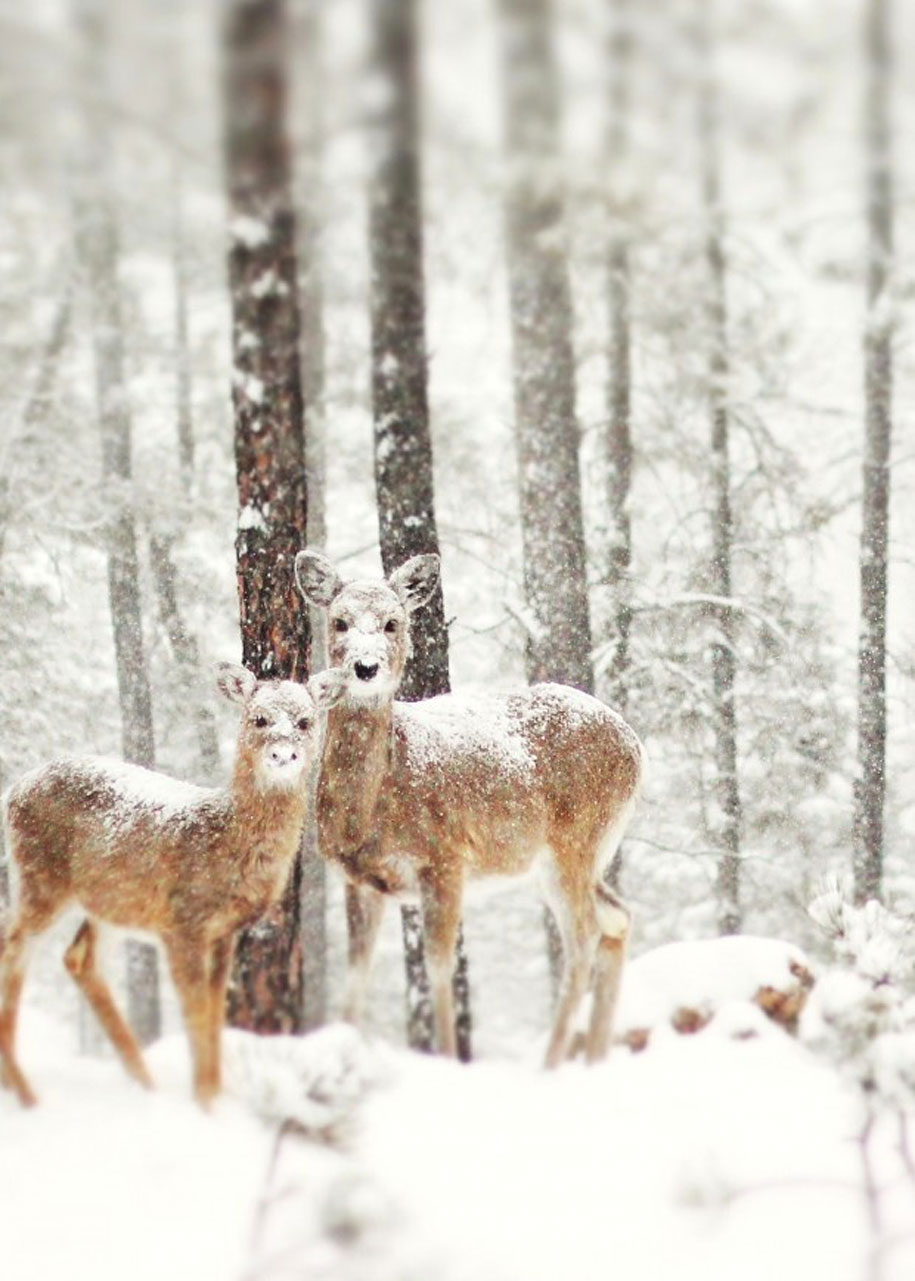Live Winter Snow Fall Background Wallpaper 19 Gorgeous Photographs Of Wild Animals During Winter Time