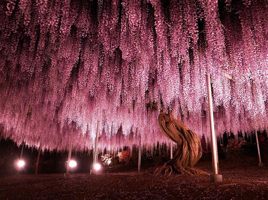 large-old-wisteria-bloom-japan-1