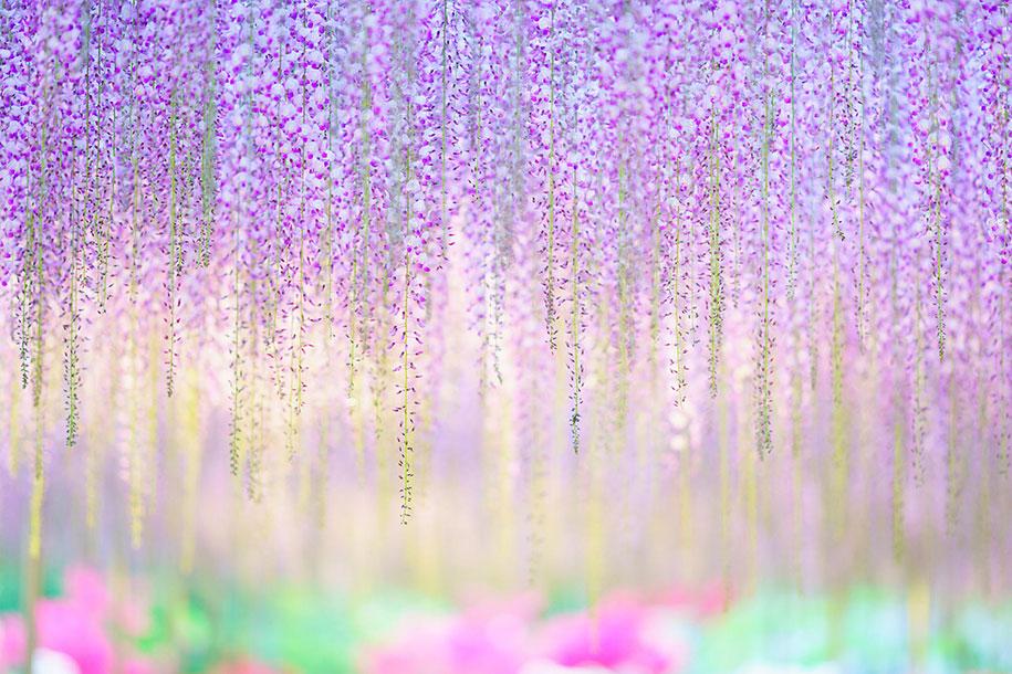 large-old-wisteria-bloom-japan-8
