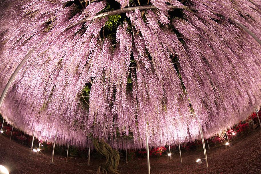 large-old-wisteria-bloom-japan-9