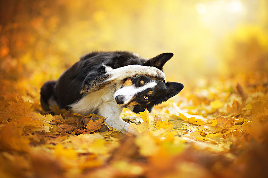 Puppies In Fall Wallpaper Warm And Inspiring Dog Portraits By Alicja Zmyslowska