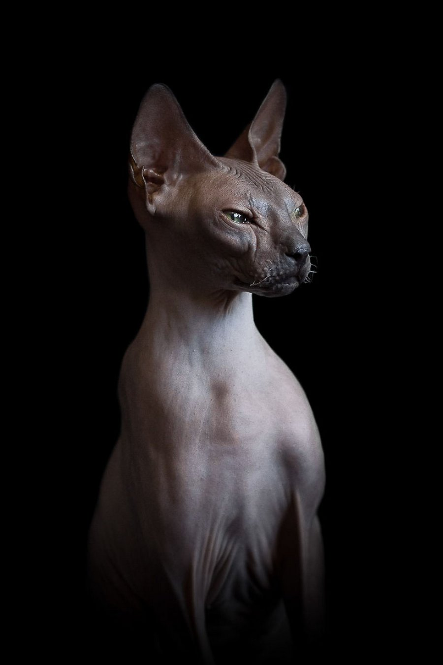Sphynx Cat Portraits Show Whats Really Happening Beneath