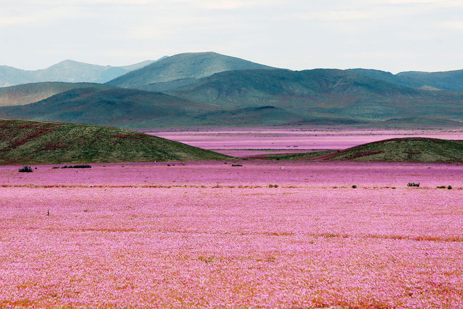 worlds-driest-desert-heavy-rains-flower-blooms-chile-4