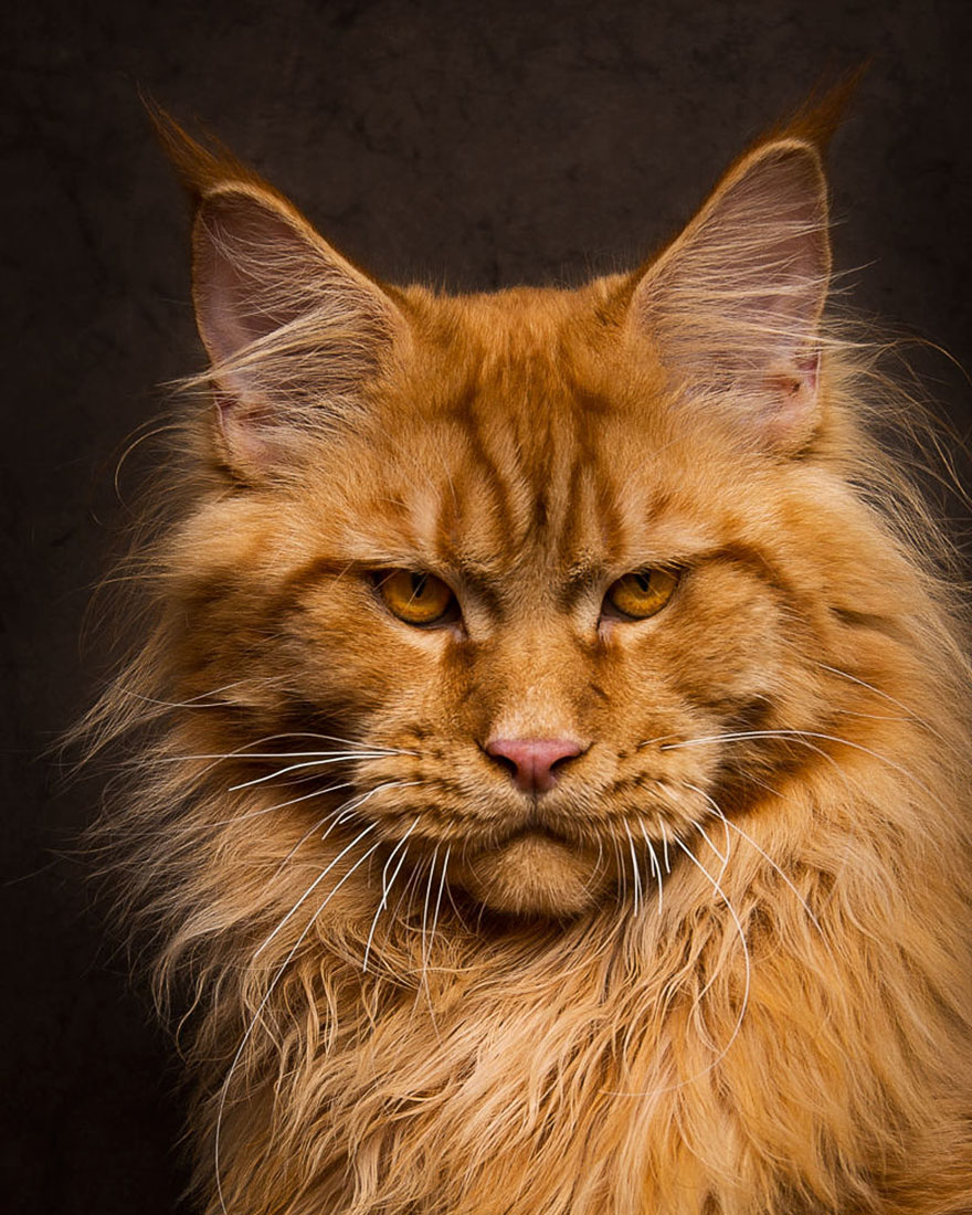 biggest-maine-coon-cat-photography-robert-sijka-11