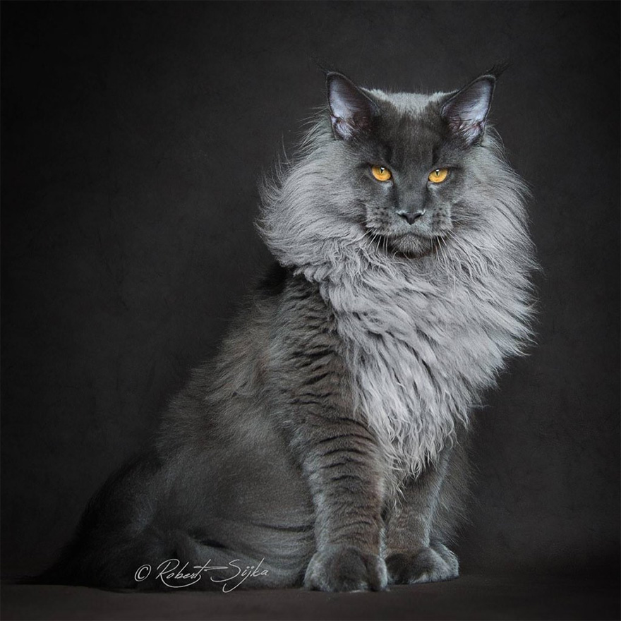 biggest-maine-coon-cat-photography-robert-sijka-15