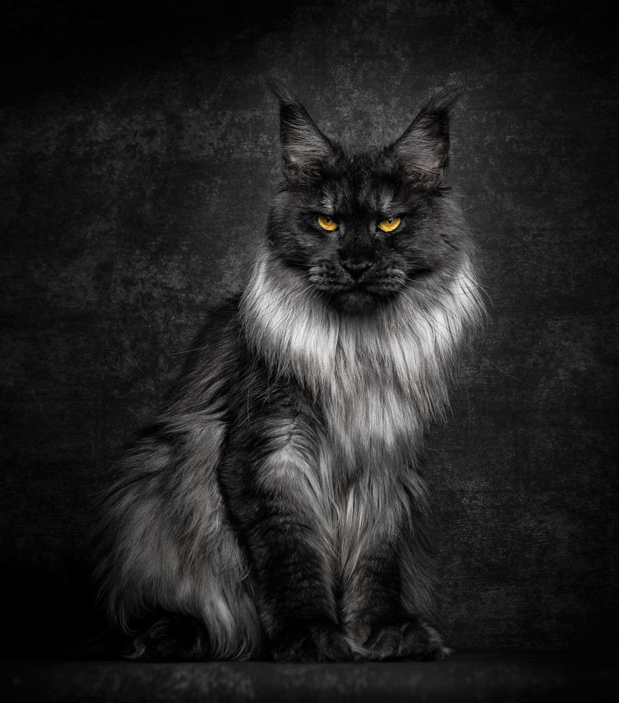 Maine Coon Cats Photographed As Majestic Mythical Beasts  DeMilked