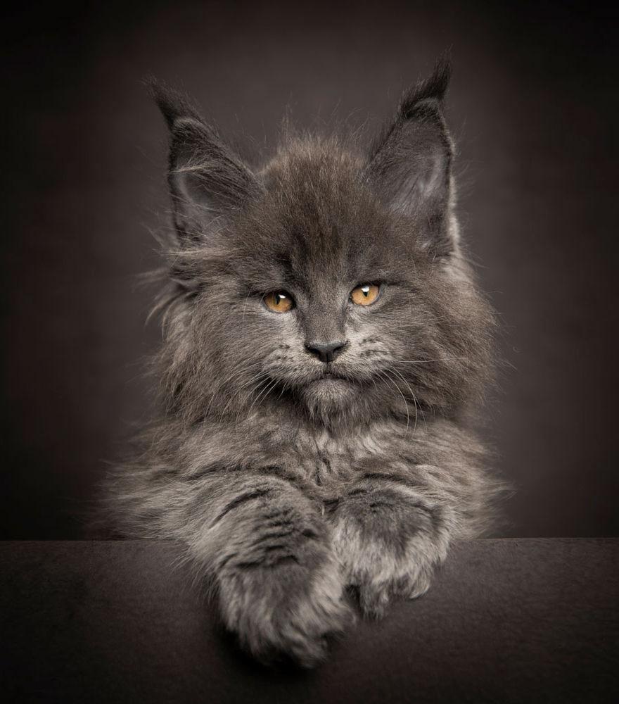 biggest-maine-coon-cat-photography-robert-sijka-5