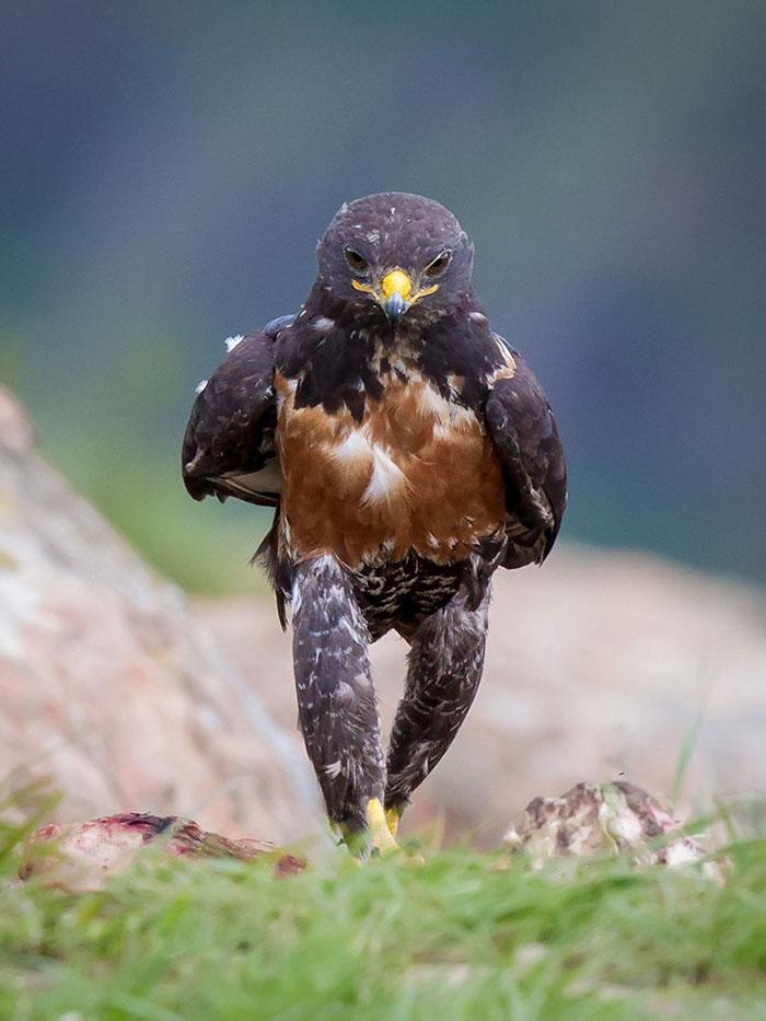 funny-badass-hawk-photoshop-battle-9