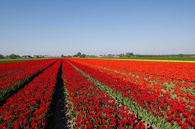 flower fields aerial photography netherlands normann szkop 42 - Show de cores nas fotos aéreas de tulipas holandesas