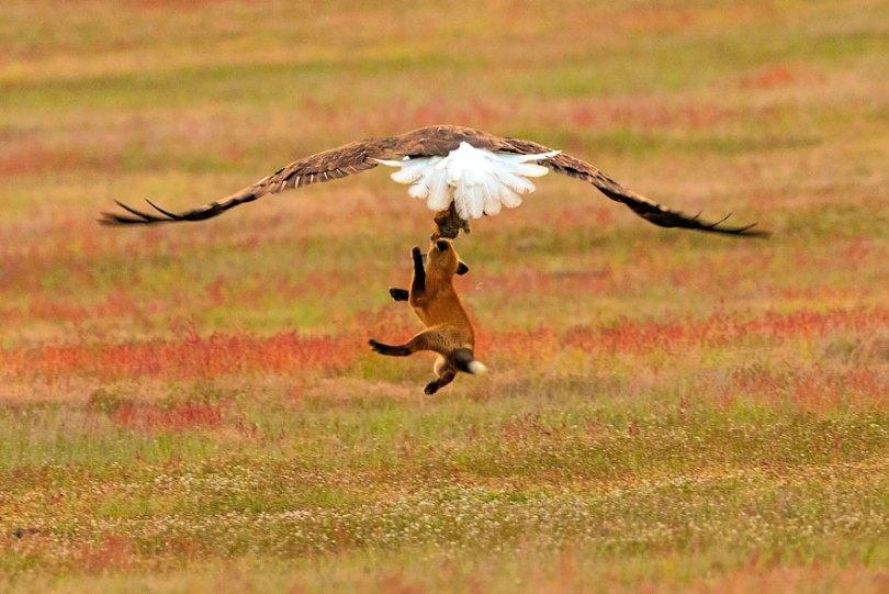 5b07de90cfd59 wildlife photography eagle fox fighting over rabbit kevin ebi 7 5b0661f0f123c  880 - Incrível! Fotógrafo captura uma batalha rara entre raposa, águia e coelho
