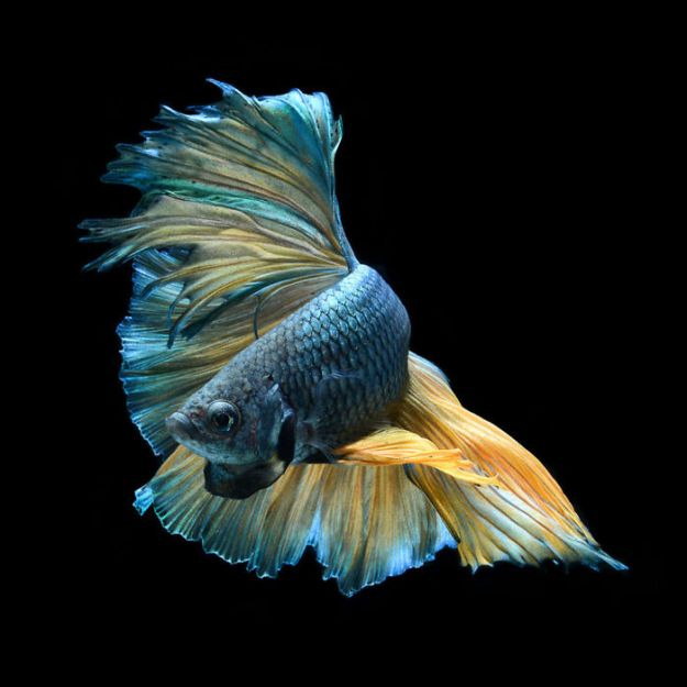 5b75729df2877-The-elegant-and-fantastic-poses-of-aquarium-fish-captured-by-a-Thai-photographer-5b70917817eff__700 This Thai Photographer Captures Aquarium Fish Like You've Never Seen Before Photography Random