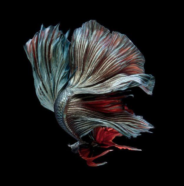 5b75729e700ff-The-elegant-and-fantastic-poses-of-aquarium-fish-captured-by-a-Thai-photographer-5b7091b574201__700 This Thai Photographer Captures Aquarium Fish Like You've Never Seen Before Photography Random