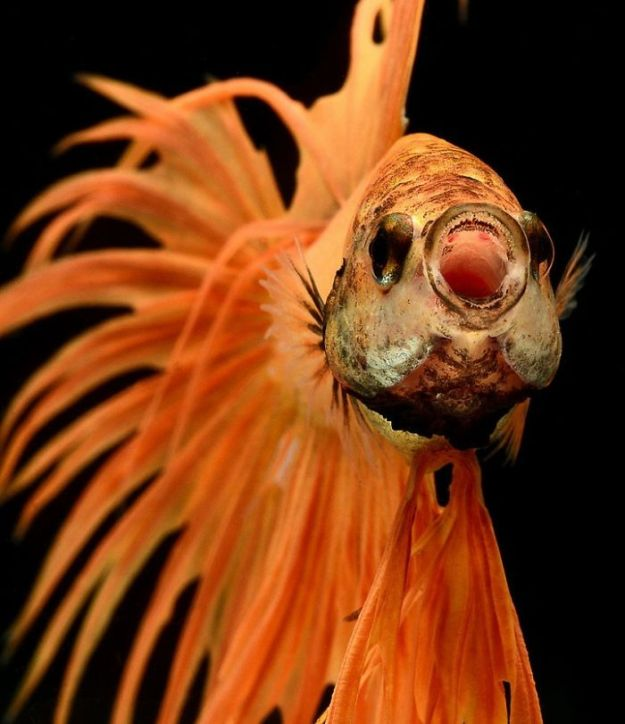 5b75729f19f1a-The-Elegant-And-Fantastic-Poses-Of-Aquarium-Fish-Captured-By-A-Thai-Photographer-5b713a081b189__700 This Thai Photographer Captures Aquarium Fish Like You've Never Seen Before Photography Random