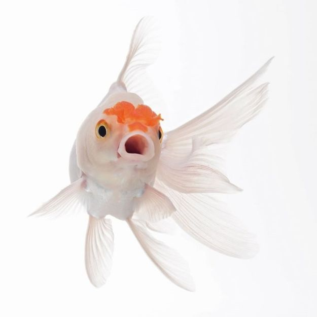 5b7572a028156-The-Elegant-And-Fantastic-Poses-Of-Aquarium-Fish-Captured-By-A-Thai-Photographer-5b713a06525d6__700 This Thai Photographer Captures Aquarium Fish Like You've Never Seen Before Photography Random