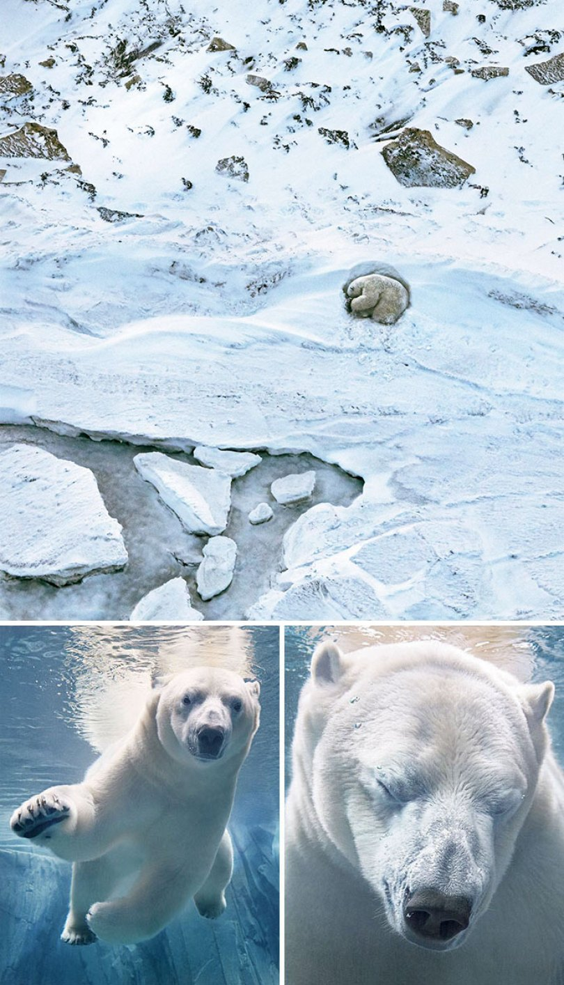 5c136d1545628 endangered animals tim flach 1c 5a461319d0e13  700 - Fotos Incríveis de animais que podem em breve ser extintos