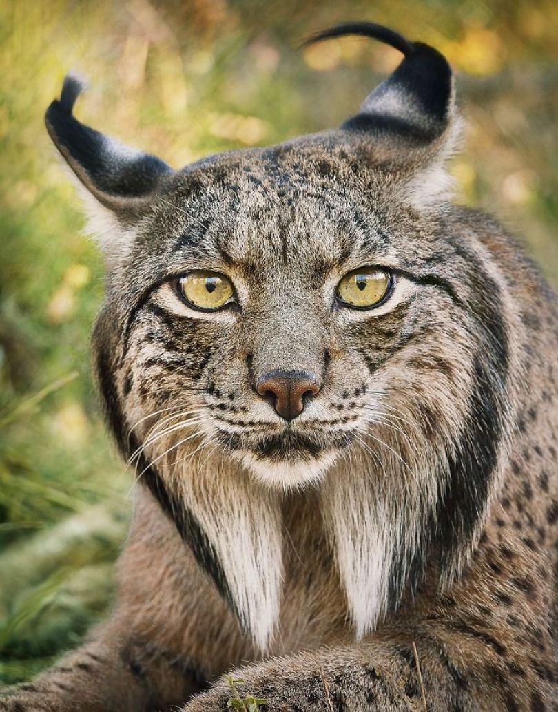 5c136d15deaf8 endangered animals tim flach 5a45f975094ae  700 - Fotos Incríveis de animais que podem em breve ser extintos