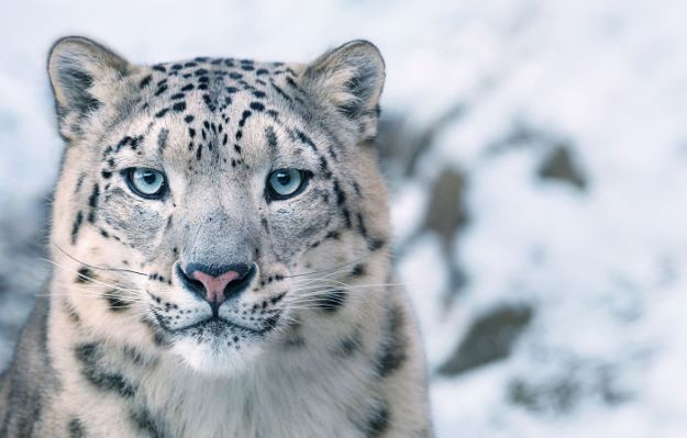 5c136d1612c00-endangered-animals-tim-flach-5a45f9fc4d250__700 This Photographer Took Pictures Of Animals That Could Soon Be Extinct And This Might Be Your Last Chance To See Them Photography Random