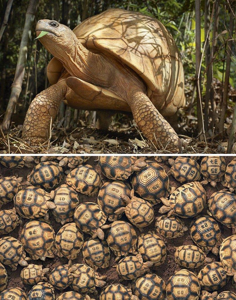 5c136d1691989 endangered animals tim flach 5a45f94873897  700 - Fotos Incríveis de animais que podem em breve ser extintos