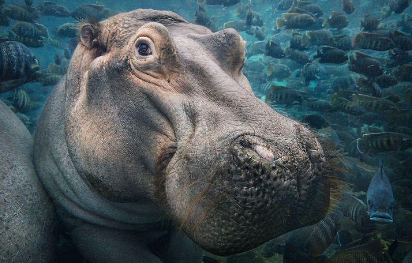 5c136d170ca9e endangered animals tim flach 5a45f7e453c51  700 - Fotos Incríveis de animais que podem em breve ser extintos