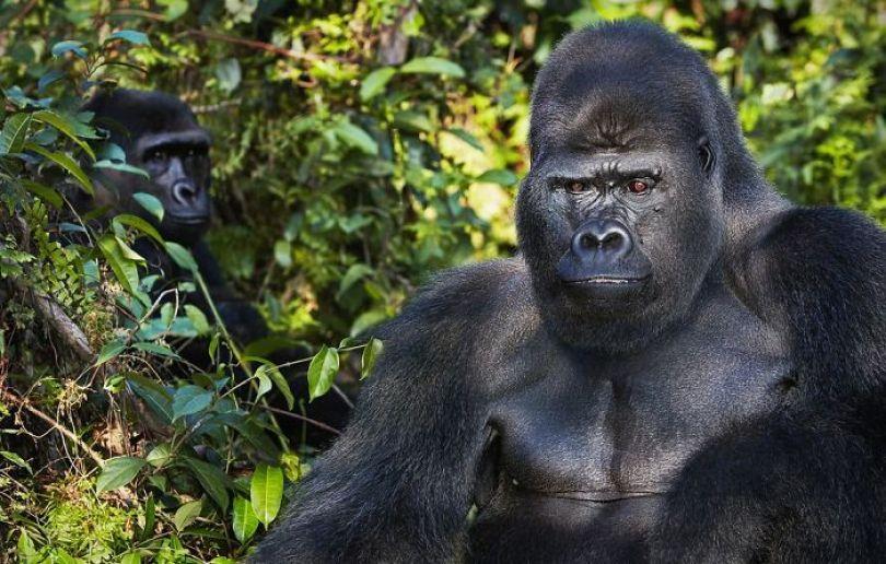 5c136d188c765 larger 3 5a45ffa5817ce  700 - Fotos Incríveis de animais que podem em breve ser extintos