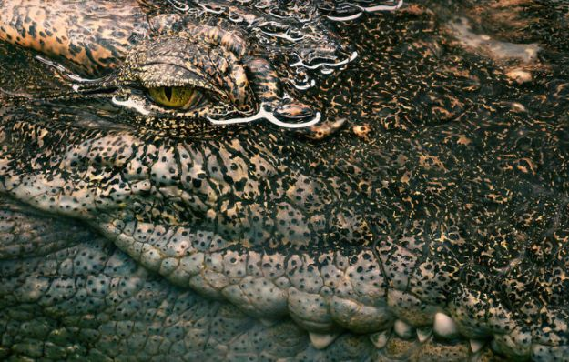 5c136d1a6b5de-siamese-croc-1024x652-5a4603272a5ed__700 This Photographer Took Pictures Of Animals That Could Soon Be Extinct And This Might Be Your Last Chance To See Them Photography Random