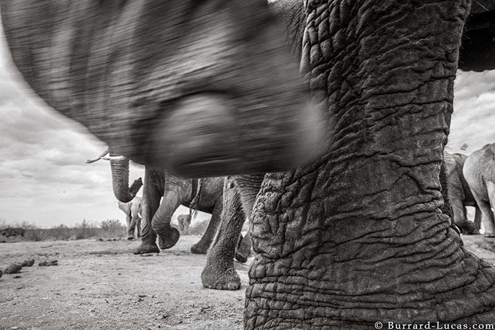 5c8a4f5e1fcdf cow elephant queen super tusker will burrard lucas tsavo kenya 4 5c8901b2595ef  700 - Fotógrafo capturou imagens impressionantes da lendária 'rainha dos elefantes' antes de morrer