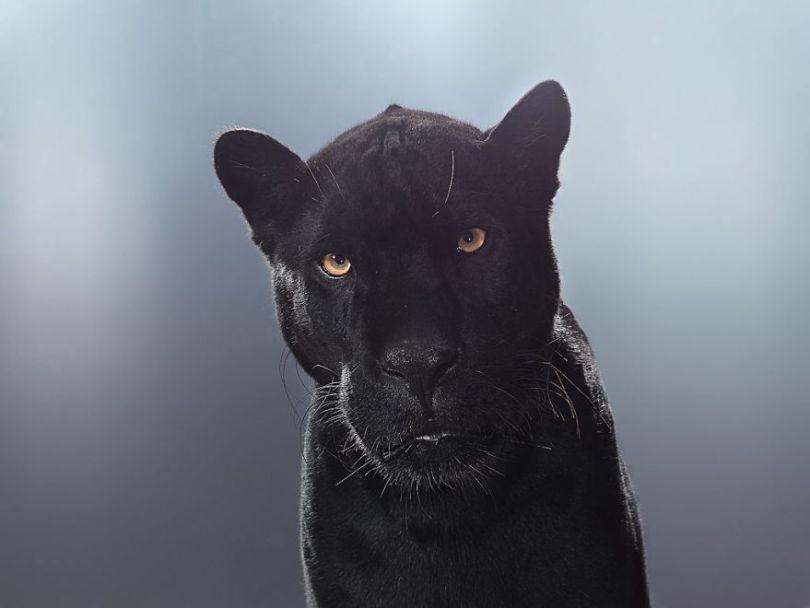 5df9e73020fca Fashion photographer has taken big cat portraits for a year and revealed that each animal has its own character 5df74f7d0f607  880 - Fotógrafo e grandes felinos através de retratos simplesmente de arrepiar
