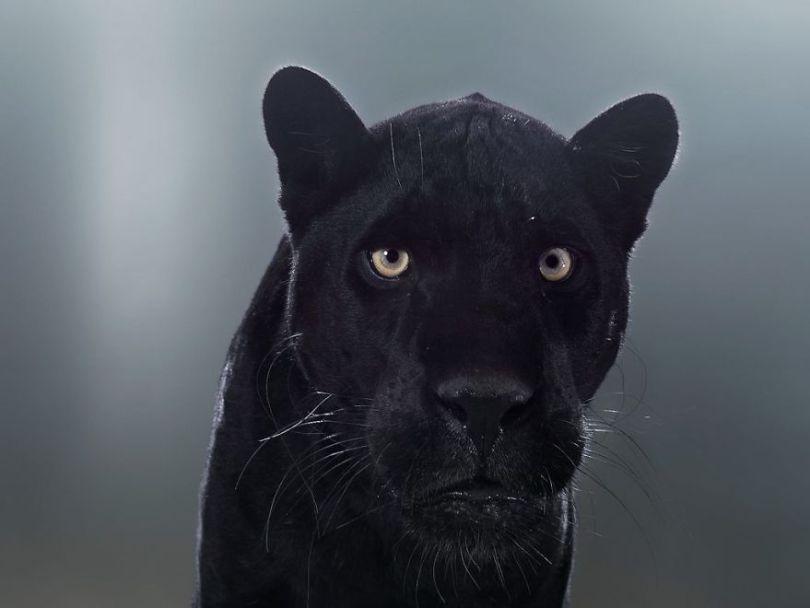 5df9e73056085 Fashion photographer has taken big cat portraits for a year and revealed that each animal has its own character 5df74f9854de5  880 - Fotógrafo e grandes felinos através de retratos simplesmente de arrepiar